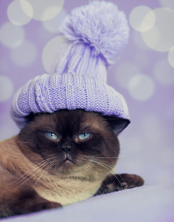 pompom: Fashion portrait of cat wearing a knitted cap with pompom