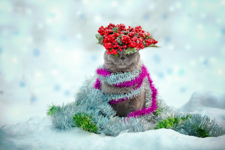 Portrait of a Blue british shorthaired cat crowned with Christmas wreath, entangled in colorful Christmas tinsel. Cat walking in the snow outdoor Stock Photo