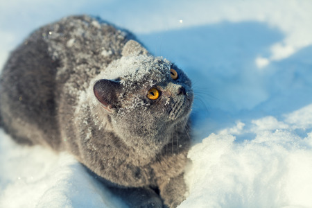 christmas pussy: Cat covered with snow sitting in the deep snow