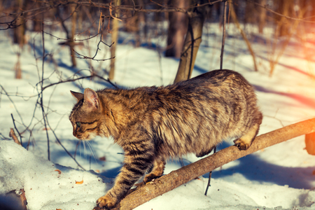 Cat sneaks on a branch in the winter forest Stock Photo