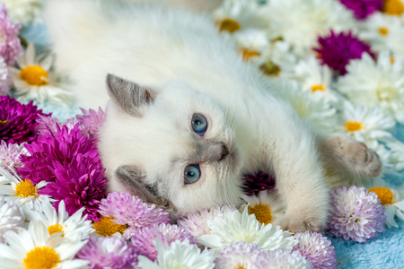 Cute little color point kitten lying on chamomile flowers Stock Photo