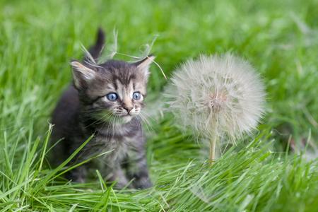 babies: Little kitten walking on the grass next to a large dandelion
