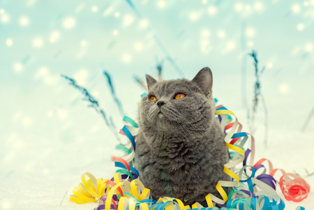 Portrait of a Blue british shorthaired cat entangled in colorful Christmas tinsel. Cat walking in the snow outdoor