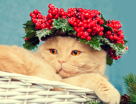 Portrait of cat with green Christmas wreath with red decorations on the head Stock Photo