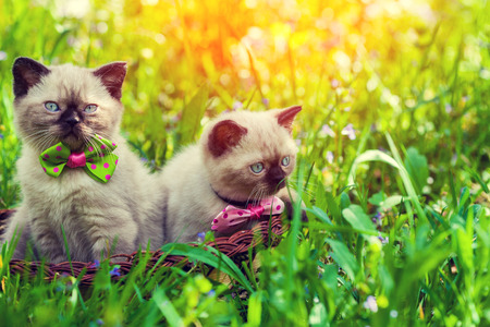baby seal: Two kittens in a basket on a green lawn at sunrise Stock Photo