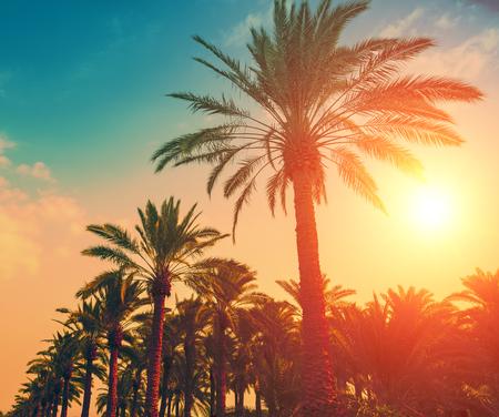 Vintage date palm trees plantation at sunset light Stock Photo
