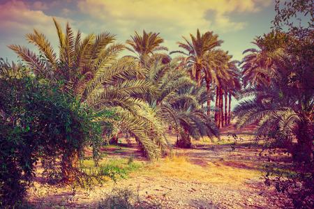Vintage date palm trees plantation.