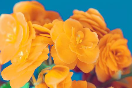 winter garden: Yellow begonia flower on blue background
