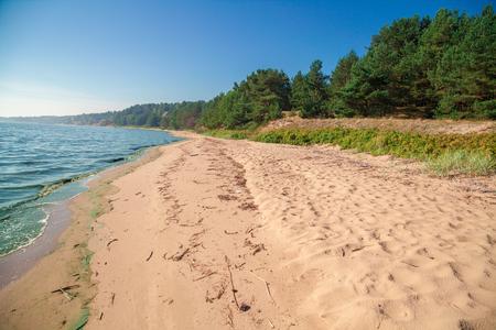 발트 해 연안. 여름에 해변에 소나무 숲입니다.