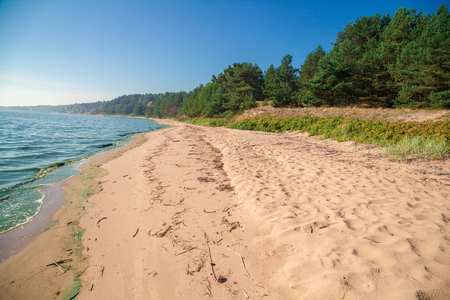 Baltic sea coast. Pine forest on the beach in summer.