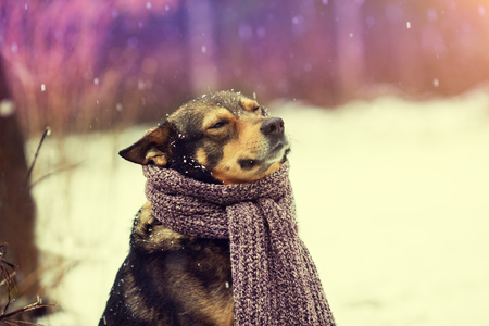 tied in: Portrait of a dog with knitted scarf tied around the neck walking in blizzard in the forest