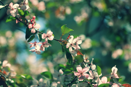 bough: Vintage blossoming orchard. Branches with cherry flowers