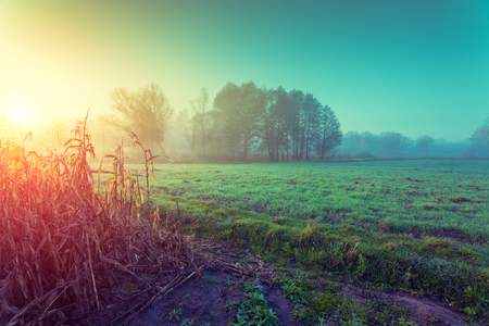 the arable land: Mist over the field with maize in an early morning. Rural landscape at sunrise Stock Photo