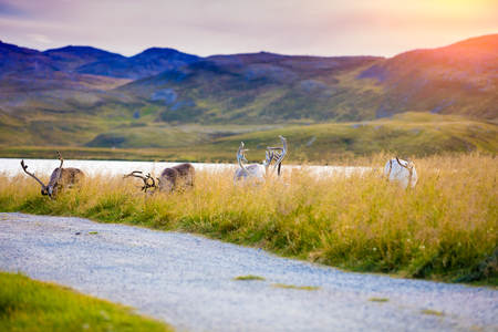 rack mount: A herd of deer grazing in a meadow in Lapland