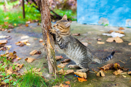 A cat grinds its claws against a wooden pole outdoor in autumn Stock Photo