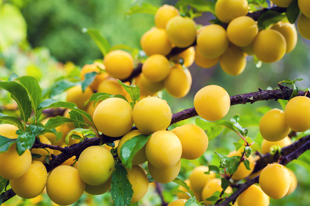 ample: Branch of yellow plum in orchard. Abundant fruit crop