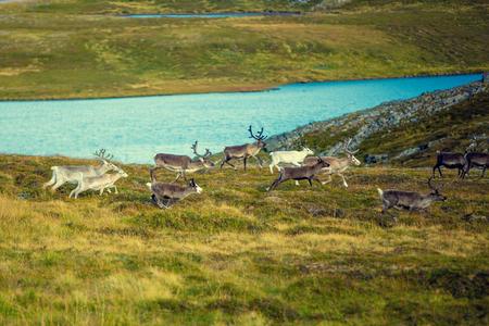 A herd of deer grazing in a meadow in Lapland Stock Photo - 79460586