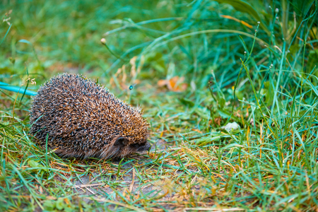 bristles: Hedgehog walking in the grass Stock Photo