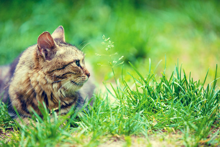 Siberian cat sitting in the garden on the grass in summer Stock Photo