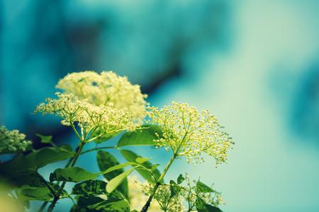 Blossoming elder (Sambucus) flowers against blue sky