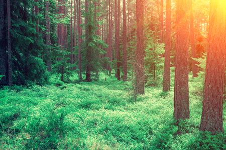 Pine forest in the morning in summer. Sunrise over forest Stock fotó