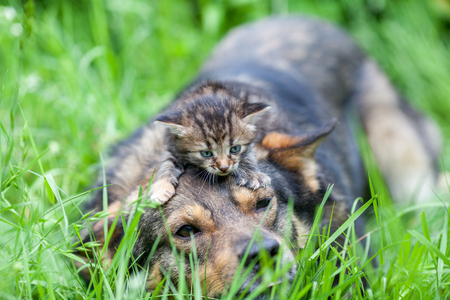 unprotected: Little kitten lying on a head of a dog. Dog lying on a grass in a summer garden Stock Photo