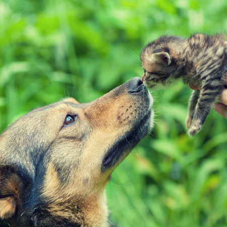 A big dog and a little kitten sniffing each other outdoor Stock Photo