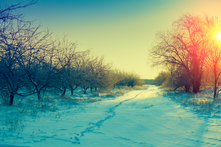 huge tree: Winter morning in a countryside. Sunrise over apple orchard covered with snow Stock Photo