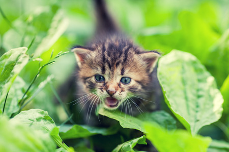 Little meowing kitten, walking on a plantain Stock Photo