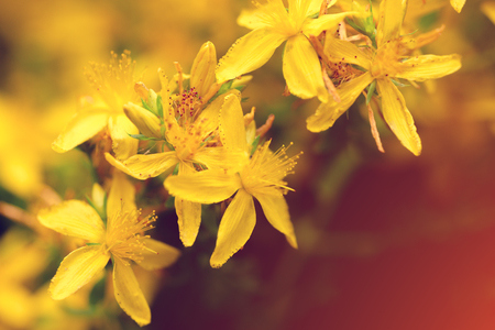 Hypericum herbal natural background. Tutsan flowers in sunny day