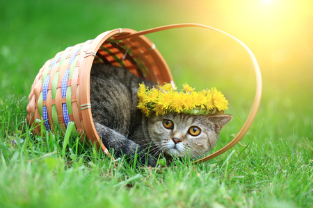 Portrait of a cat, sitting in a basket on the grass, crowned with dandelion chaplet
