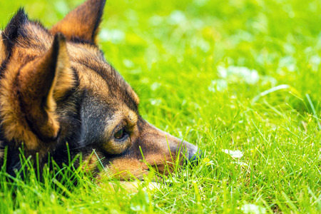 The head of a sleeping dog lying on the grass in summer