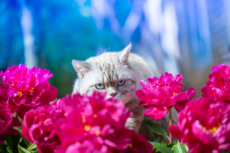 The cat hides behind the peonies flowers in a garden in summer