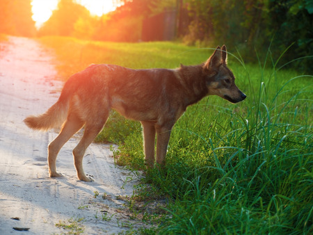 A young stray dog walking along a dirt road in the countryside at sunset