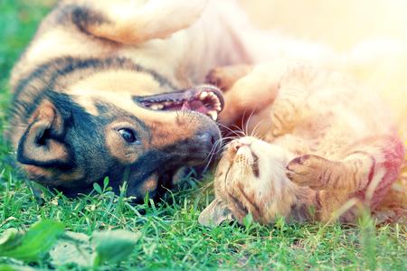 Honden- en katten spelen samen op het gras bij zonsondergang