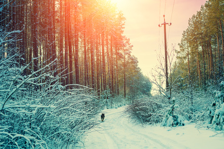 Snowy forest in winter at sunset. Dirt road in the forest. Dog running in the forest