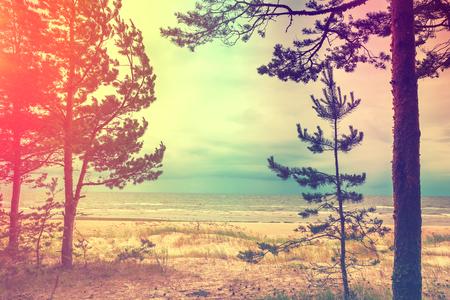 suomi: Pine trees on the beach