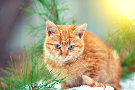 Little red kitten sitting on the snow in the winter forest