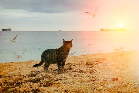 Cat walking on the beach at sunset. Cat watching seagulls, flying over sea Stock Photo