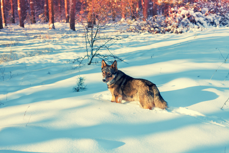 A dog walks in deep snow in the forest Stock Photo