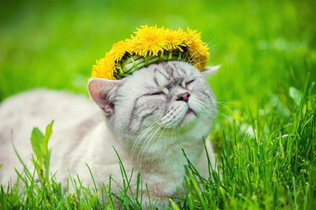 Portrait of a cat, sitting in the grass, crowned with dandelion chaplet