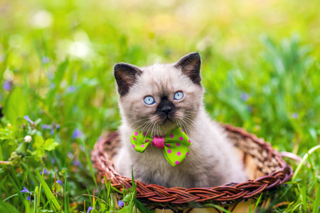 Little kitten wearing bow tie lying in a basket on the grass