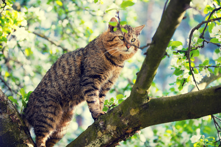 Cute cat is standing on a branch of the tree in a garden in spring in blossoming orchard
