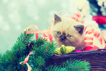 christmas pussy: little cute kitten entangled in Christmas streamer sits in the basket. Kitten sitting near decorated fir tree