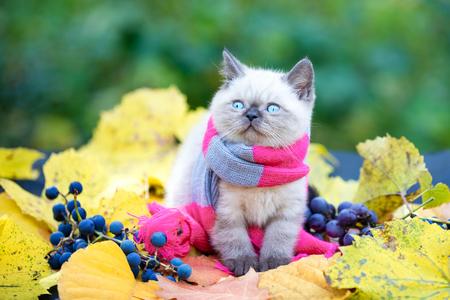 Autumn portrait of the little kitten wearing pink gray knitting scarf. Cat walking outdoor on fallen leaves in a garden