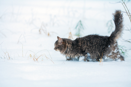 Portrait of gray Siberian cat walking outdoors in winter in the deep snow Stock Photo