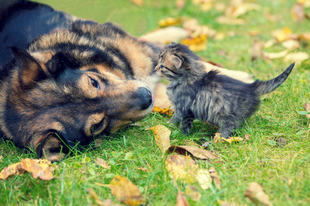 Dogs and little kittens are best friends playing together outdoors Stock Photo