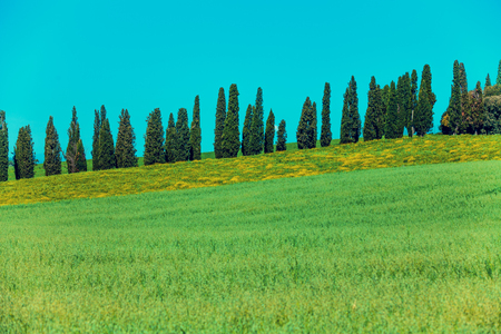 pienza: Cypress trees on the hill covered with grass. Tuscany spring landscape. Italy