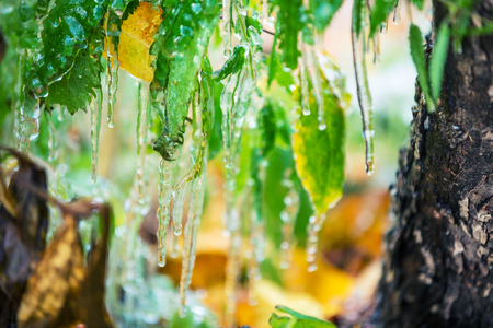 Icy rain. The green leaves are covered with ice