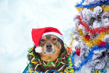 Portrait of a dog entangled in the colorful streamer. Dog wearing Santa hat and sitting near fir tree in the snow outdoors